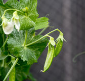 在藤的糖荚豌豆 免版税库存图片