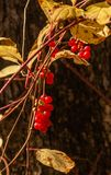 在藤的红色莓果明亮地被点燃 免版税库存照片