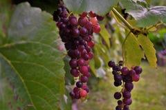 在藤的红葡萄 免版税库存照片