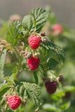 在藤的莓 库存图片