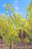 在藤的葡萄在加利福尼亚纳帕谷  库存图片