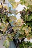 在藤的葡萄在Marksburg城堡庭院里 免版税库存照片