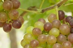 在藤的葡萄 免版税库存图片