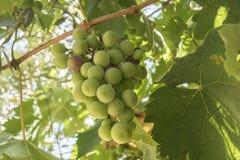 在藤的葡萄 库存图片