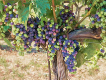 在藤的葡萄 库存照片