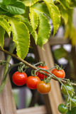 在藤的蕃茄 免版税库存图片