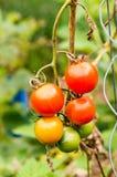 在藤的蕃茄 免版税库存照片