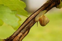 在藤的蜗牛 库存图片