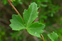 在藤的绿色叶子 免版税库存图片