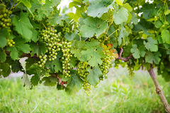 在藤的绿色葡萄,生长在普罗旺斯,法国 库存图片