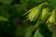 在藤的年轻蕃茄在后院庭院里 免版税库存图片