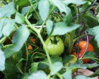 在藤的年轻蕃茄 免版税库存照片