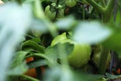 在藤的年轻蕃茄 免版税库存图片