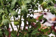 在藤的年轻蕃茄 库存图片