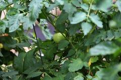 在藤的年轻蕃茄 库存照片