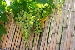 在藤茎的葡萄 免版税库存图片
