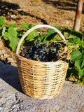在藤茎篮子的新鲜的黑葡萄 免版税库存图片