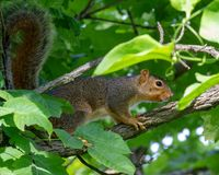 在藤茎里奇保护地区的灰鼠 库存图片