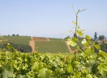 在藤葡萄园的葡萄小山 免版税库存图片