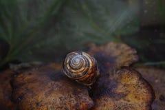在蘑菇的布朗蜗牛 免版税库存照片