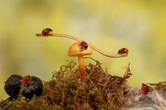 在蘑菇的特写镜头瓢虫在草甸 免版税库存图片