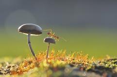 在蘑菇的织布工蚂蚁 免版税库存照片