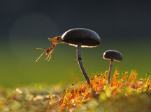 在蘑菇的织布工蚂蚁 图库摄影
