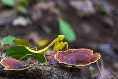 在蘑菇的绿色螳螂昆虫 免版税库存照片