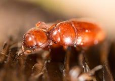 在蘑菇头的一只小甲虫 免版税库存图片