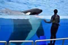在虎鲸和海豚展示的女孩教练员 图库摄影