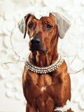 在虚荣前面的Rhodesian Ridgeback夫人狗 库存图片