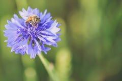 在虹膜紫罗兰色花的一只蜂在焦点 免版税图库摄影