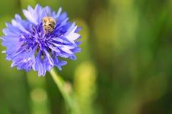 在虹膜紫罗兰色花的一只蜂在焦点 库存图片