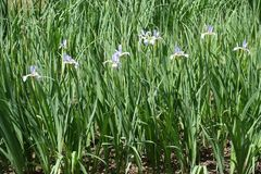 在虹膜spuria leafage的紫罗兰色花  库存照片