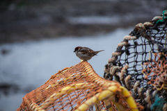 在虾笼的麻雀 免版税图库摄影