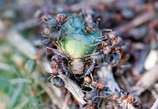 在蚁丘的甲虫 免版税库存照片