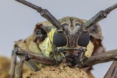 在蚂蚱论坛的长的大黄蜂昆虫 库存图片