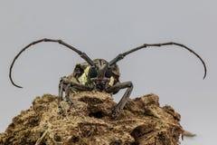 在蚂蚱论坛的长的大黄蜂昆虫 图库摄影