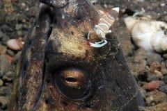 在蛇鳗鱼的头的伙伴虾 免版税库存图片