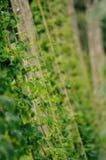 在蛇麻草的阳光 免版税库存图片