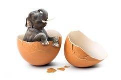 在蛋壳的大象 库存照片