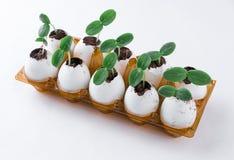 在蛋壳的黄瓜新芽 免版税图库摄影