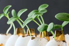 在蛋壳的黄瓜新芽 库存照片
