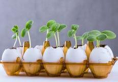在蛋壳的黄瓜新芽 免版税库存照片