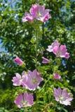 在蜀葵, Alcea Pallida,特写镜头的桃红色花有bokeh背景,选择聚焦,浅DOF 免版税库存照片