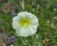 在蜀葵, Alcea Rugosa,特写镜头的淡黄的花有bokeh背景,选择聚焦,浅DOF 免版税库存照片