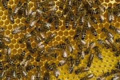 在蜂房的工作蜂 库存图片