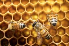 在蜂房的蜂蜜蜂在东南亚 免版税图库摄影