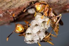 在蜂房的黄蜂 免版税库存照片