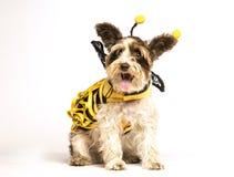 在蜂服装的狗 免版税库存照片